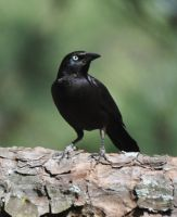 Grackle 3-2-11 by Tailgun2009