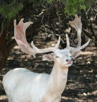 White Deer by idnurse41
