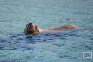 Sealion by RunLikeATortus