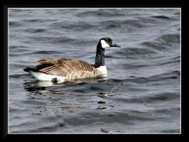 Canada Goose by dove-51