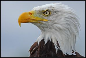 Bald Eagle Portrait II by nitsch