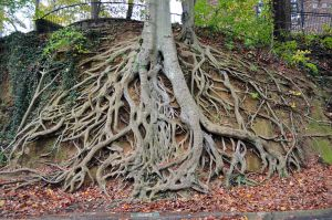 Giant Tree Roots Stock Photo 0150 Orig by annamae22