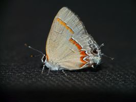 .,Red-banded Hairstreak.., by duggiehoo