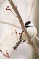 Black-Capped Chickadee by Sarah--Lynne