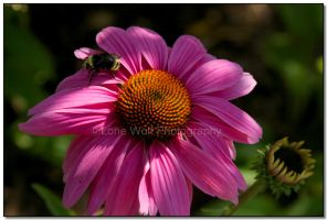 Blossom and the Bumble Bee II by LoneWolfPhotography