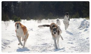 Russian Borzoi from the kennel SENAVIAN by AnnaRey