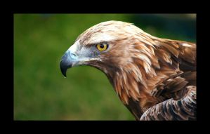 golden eagle by damo3sp