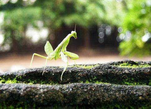 Mantis by ALRainbow