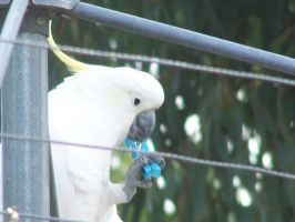 Sulpher Crested Cockatoo 8 by DreamsDeleted