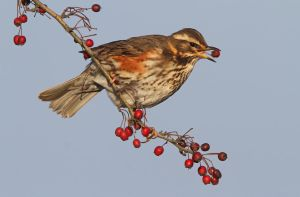 I just love berries - Redwing by Jamie-MacArthur