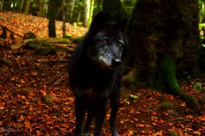 Black Wolf by Nordstjarna