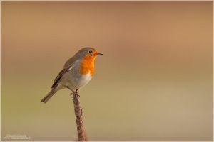 European Robin by ClaudeG