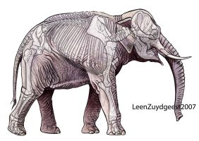 Asian elephant with skeleton by LeenZuydgeest