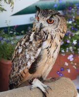 Indian Rock Eagle Owl. by Firey-Sunset