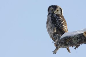 Northern Hawk Owl V by Tucky13