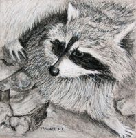 Raccoon by mbeckett