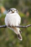 Northern hawk-owl by shemonter