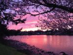 Sunset and Cherry Blossoms by CuffButtons