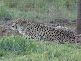 Monarto 2014: Cheetah 03 by lizardman22