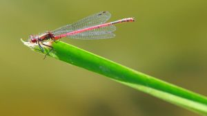Large Red Damselfly 1600x900 8 by aradilon