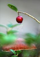 Lingonberry by Jooihi