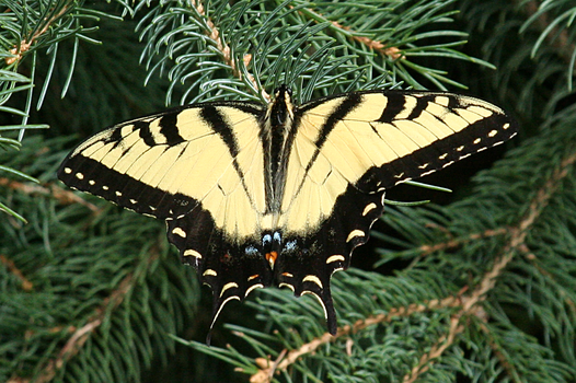 Eastern Tiger Swallowtail - Stock by shadoj