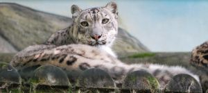 Eyes of the Snow Leopard by NicamShilova