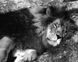 Sleeping Lion by Lokwa