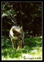 Don't be so shy, young wolf by Louvargent