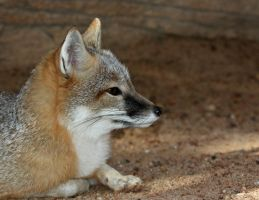 Swift Fox Profile by Jack-13