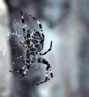 Spider by SIIINS