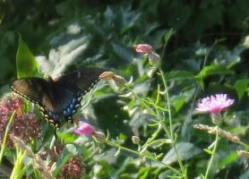 Butterfly and thistle by O-Tripp
