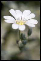 Tiny White Flower Macro by AlexCphoto