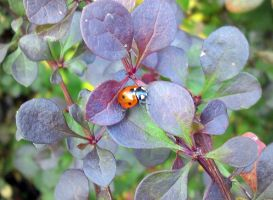 Lady bug II by Silvannia
