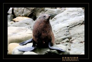 Kaikoura Seal 1 by 7scout7