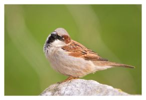 House Sparrow by Neutron2K