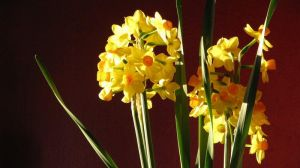 Narcisses 01 by uranie