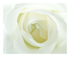 White Rose of Beauty by erra