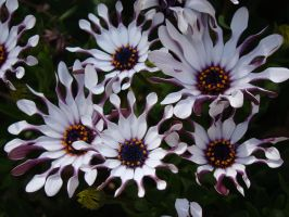 Purple Whites by stephuhnoids
