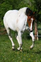 American Paint Horse by Speci1990