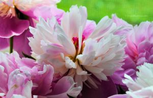 Birthday's peonies by fotografka