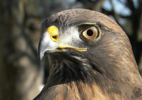 Young Male Red-tailed Hawk by Ciameth