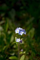Blue flower by Arichy