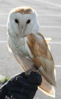 This is Rodders the Barn Owl by jacksonsrus