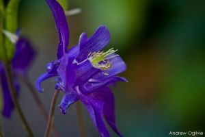 Columbine Flower by PrimalOrB