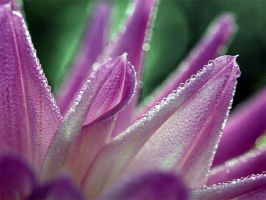 Frosted Dahlia by andras120