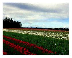 Tulip Field by buildingclimber