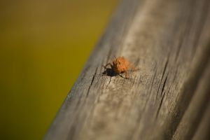 Little Brown Grass Hopper July - 2014 - 2 - 1 by toshema