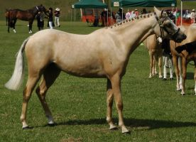 palomino riding pony standing by tbg-stock-images