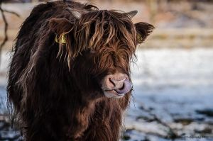 Highland -Lick by AndersStangl